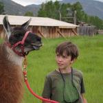 A Farmhand leads a llama a the Hutchinson Ranch.