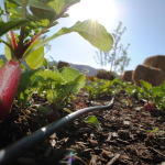 Healthy early season radishes growing at the Salida School Gardens.