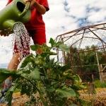 Watering the tomatoes at Farm Camp at Moonstone Farm.