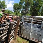 Farmhands watch as Hutchinson Ranch cows are loaded to take to graze in the high country.