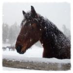 snowy-horse